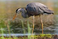 Great Blue Heron Feeding Along Shoreline