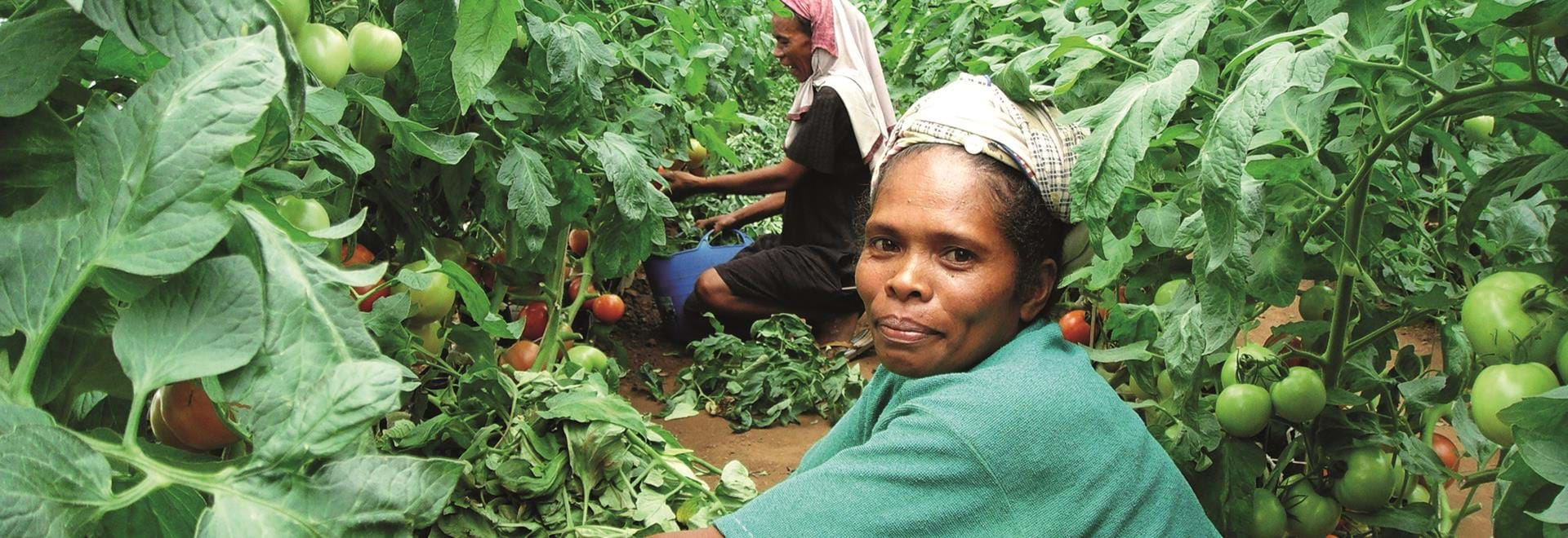 Indonesian ladies picking tomatoes